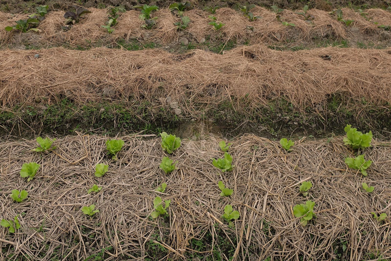 寒露當天的菜田。
