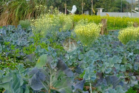 立春的菜田。