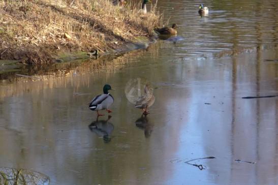 小鴨們在結冰的小湖上走,好搞笑。