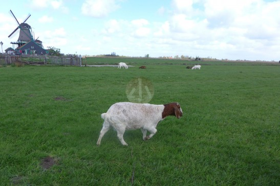在荷蘭風車村見到,於草地上優哉悠哉的羊。
