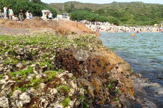 白色的石蠔間長有快要消失的綠藻石蒓