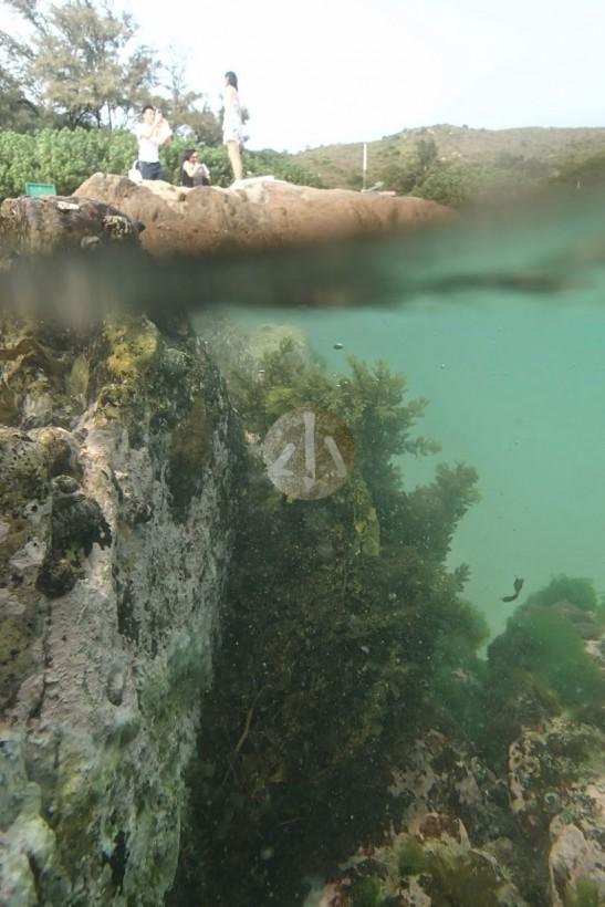 馬尾藻和右邊綠色的石蒓