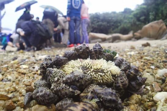 荔枝螺正聚集在蠔殼上產卵。