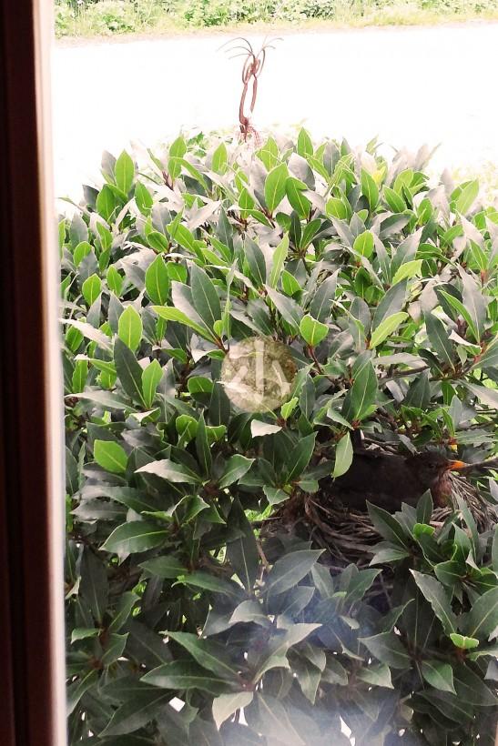 猴子秘密的躲在一個小窗前,把了哥一家拍下來。小心看,會見到小樹裏有一個橙色的嘴巴。
