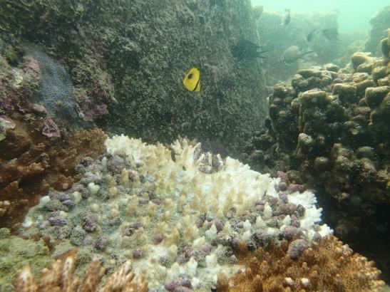 白化加上核螺的侵食,這大片桌形珊瑚正步向死亡。
